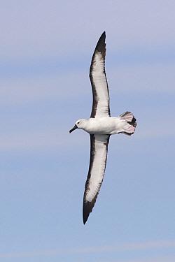 Yellow-nosed Albatross (Thalassarche chlororhynchos) flying, Victoria, Australia