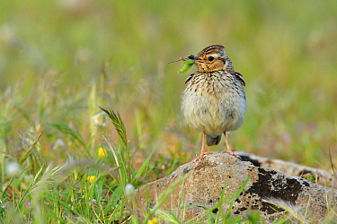 Wood Lark (Lullula arborea) female with caterpillar prey, Andalusia, Spain
