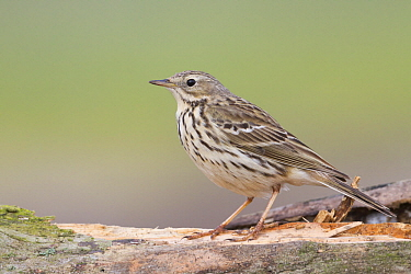 Meadow Pipit (Anthus pratensis), Poland