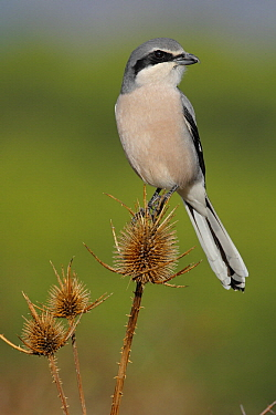Southern Grey Shrike (Lanius meridionalis) male, Andalusia, Spain