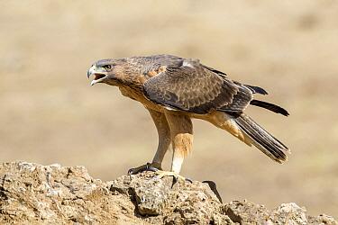 Bonelli's Eagle (Hieraaetus fasciatus) juvenile calling, Andalusia, Spain