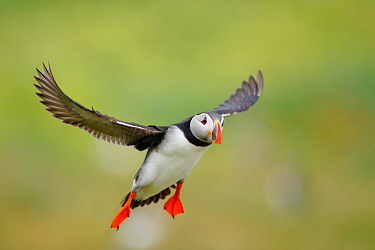 Atlantic Puffin (Fratercula arctica) flying, Farne Islands, England, United Kingdom