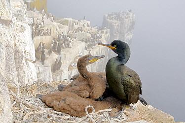 European Shag (Phalacrocorax aristotelis) parent with chicks on cliff nest, Farne Islands, England, United Kingdom