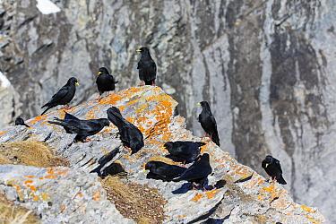 Yellow-billed Chough (Pyrrhocorax graculus) flock, Valais, Switzerland