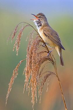Great Reed-Warbler (Acrocephalus arundinaceus) male calling, Vienna, Austria