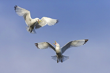 Black-legged Kittiwake (Rissa tridactyla) pair squabbling while flying, Finnmark, Norway