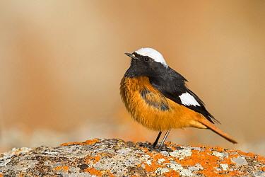 G?ldenst?dt's Redstart (Phoenicurus erythrogastrus) male, Kyrgyzstan