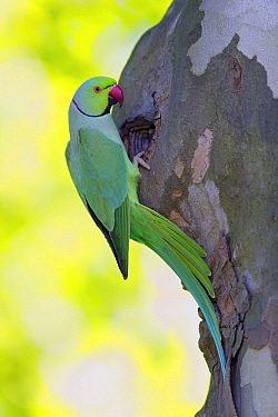 Rose-ringed Parakeet (Psittacula krameri) male at nest cavity, Baden-Wurttemberg, Germany