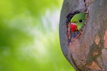 Rose-ringed Parakeet (Psittacula krameri) chick in nest cavity, Baden-Wurttemberg, Germany