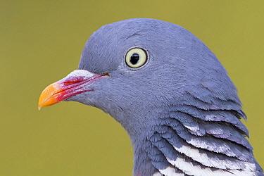 Common Wood-pigeon (Columba palumbus), Rhineland-Palatinate, Germany