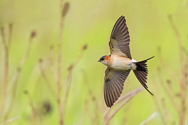 Red-rumped Swallow (Cecropis daurica) flying, Lesvos, Greece