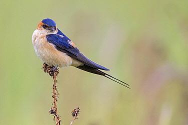 Red-rumped Swallow (Cecropis daurica), Lesvos, Greece