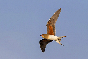 Collared Pratincole (Glareola pratincola) flying, Israel