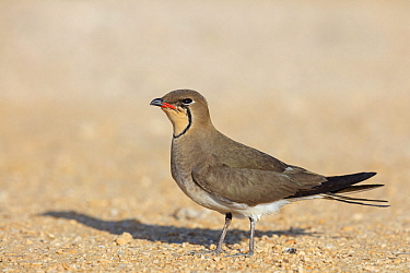 Collared Pratincole (Glareola pratincola), Israel
