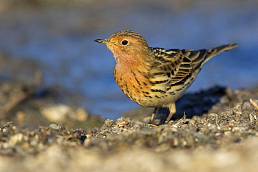 Red-throated Pipit (Anthus cervinus) at waterhole, Israel
