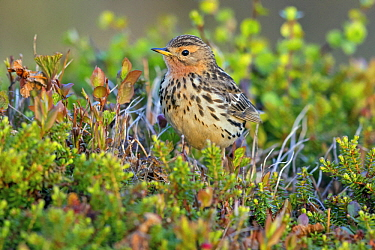 Red-throated Pipit (Anthus cervinus), Finnmark, Norway