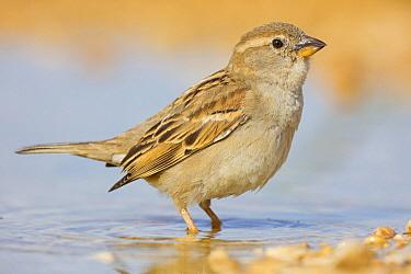 Spanish Sparrow (Passer hispaniolensis) female at waterhole, Israel