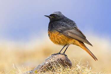 Black Redstart (Phoenicurus ochruros) male, Georgia