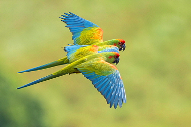 Red-fronted Macaw (Ara rubrogenys) pair flying, Bolivia