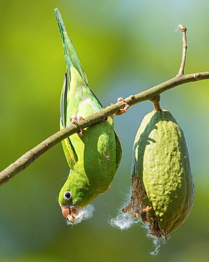 Yellow-chevroned Parakeet (Brotogeris chiriri) feeding on Silk Cotton Tree (Ceiba speciosa) seed, Bolivia