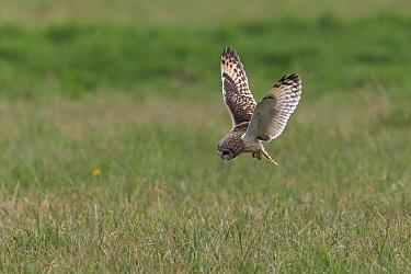Short-eared Owl (Asio flammeus) foraging, Burgenland, Austria