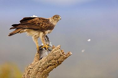 Bonelli's Eagle (Hieraaetus fasciatus) with pigeon prey, Extremadura, Spain