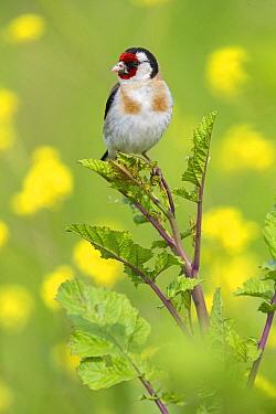 European Goldfinch (Carduelis carduelis), Lesvos, Greece