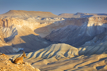 Nubian Ibex (Capra nubiana) male in desert mountains, Gan HaDarom, Israel