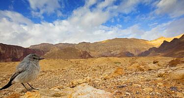Blackstart (Cercomela melanura) in desert, Israel