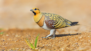 Pin-tailed Sandgrouse (Pterocles alchata) male, Israel