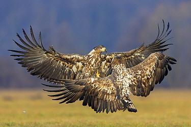 White-tailed Eagle (Haliaeetus albicilla) juveniles fighting, Lodz, Poland