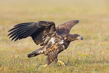 White-tailed Eagle (Haliaeetus albicilla) juvenile in aggressive display, Lodz, Poland