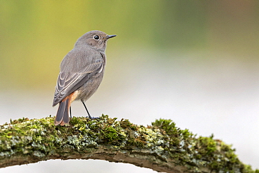 Black Redstart (Phoenicurus ochruros) female, Saxony-Anhalt, Germany