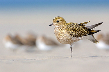 Golden Plover (Pluvialis apricaria) stretching on beach, Schleswig-Holstein, Germany