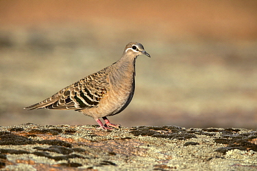 Common Bronzewing (Phaps chalcoptera) female, South Australia, Australia