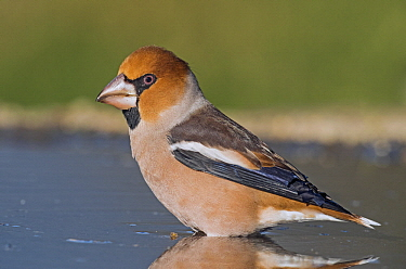 Hawfinch (Coccothraustes coccothraustes) male at waterhole, Aosta Valley, Italy