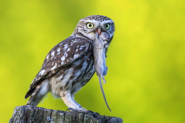 Little Owl (Athene noctua) with mouse prey, Schleswig-Holstein, Germany