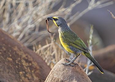 Bokmakierie Bushshrike (Telophorus zeylonus) with leech prey, Namibia