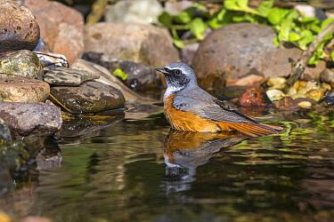 Common Redstart (Phoenicurus phoenicurus) male in stream, Mecklenburg-Vorpommern, Germany