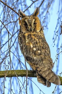 Long-eared Owl (Asio otus), Mecklenburg-Vorpommern, Germany