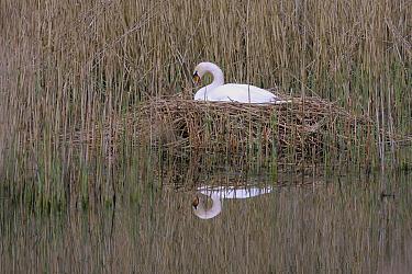 Mute Swan (Cygnus olor) on nest, Mecklenburg-Vorpommern, Germany