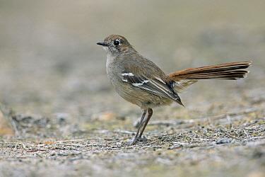 Southern Scrub-Robin (Drymodes brunneopygia), South Australia, Australia