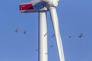 Common Crane (Grus grus) group flying near windmill, Mecklenburg-Vorpommern, Germany