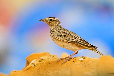Oriental Skylark (Alauda gulgula), Oman