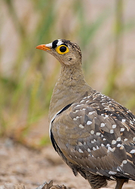 Double-banded Sandgrouse (Pterocles bicinctus) male, Namibia