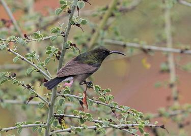 Dusky Sunbird (Nectarinia fusca), Namibia