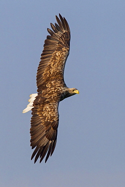 White-tailed Eagle (Haliaeetus albicilla) flying, Mecklenburg-Vorpommern, Germany
