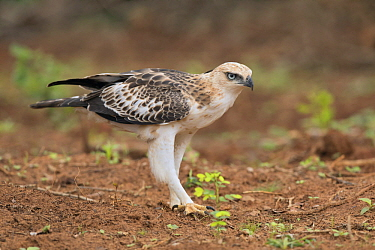 Changeable Hawk-Eagle (Spizaetus cirrhatus), Bundala National Park, Sri Lanka