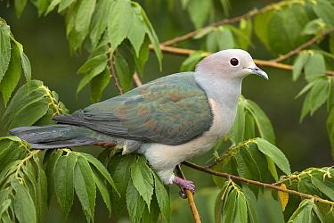 Green Imperial-Pigeon (Ducula aenea), Udawalawe National Park, Sri Lanka