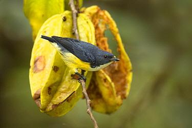 Legge's Flowerpecker (Dicaeum vincens), Sinharaja Forest Reserve, Sri Lanka